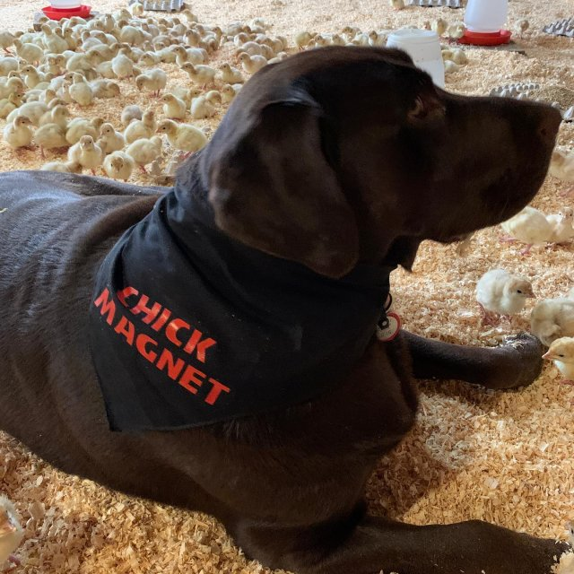 "Winston the Farm Dog goes by many names. He has most recently been dubbed a ""chick magnet"" for understandable reasons. 🐥 . . . #diemandfarm #wendellma #farmstore #shoplocal #familyfarm #westernma #franklincounty #pioneervalley #bealocalhero #othersidema #visitwesternma #igers413 #newengland_igers #igersmass #massachusetts_igers #navigatingnewengland #roadtripnewengland #massagriculture #farmstyle #massgrown #stillfarming #winstonthefarmdog #nofarmsnofarmdogs #chickmagnet #babyturkeys"