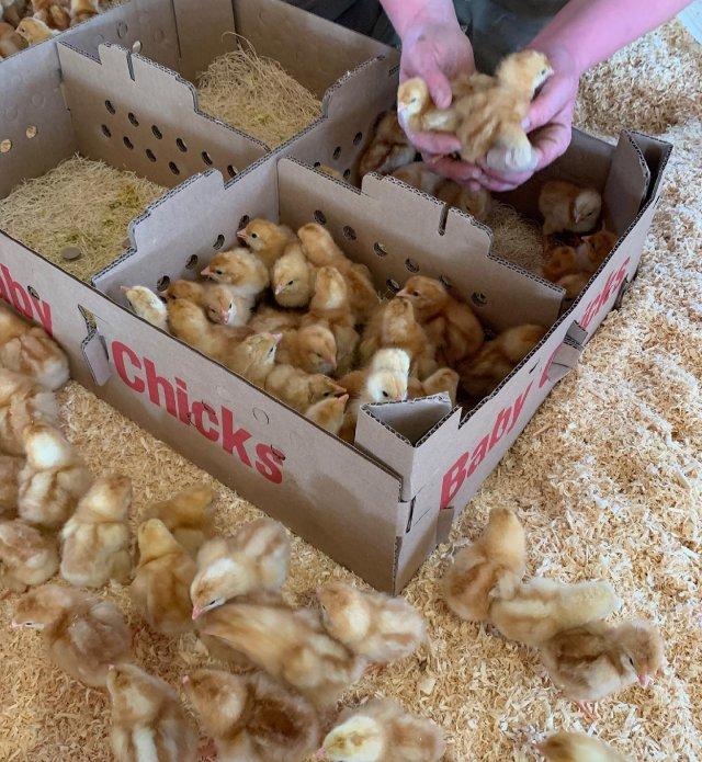 More baby chicks! 🐥 . . . #diemandfarm #wendellma #layinghens #babychicks #familyfarm #westernma #franklincounty #pioneervalley #bealocalhero #othersidema #visitwesternma #igers413 #newengland_igers #igersmass #massachusetts_igers #navigatingnewengland