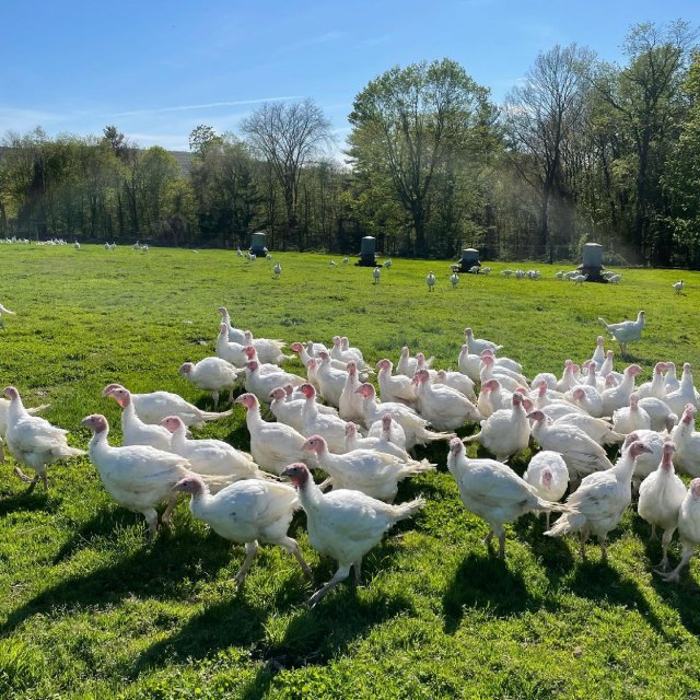 It was a gorgeous afternoon for our first batch of turkeys to explore their new stomping grounds ☀️ . . . #diemandfarm #wendellma #familyfarm #pastureraised #turkeys #westernma #franklincounty #pioneervalley #bealocalhero #othersidema #visitwesternma #igers413 #newengland_igers #igersmass #massachusetts_igers #massagriculture #farmstyle #massgrown #stillfarming