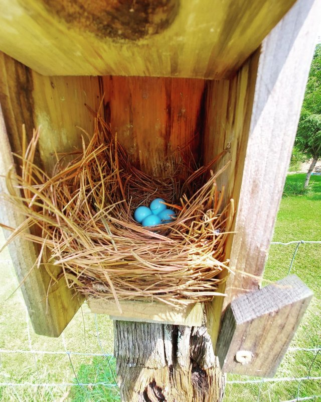 What a sweet surprise found in one of our fields! Bluebird eggs in their pine needle nest safe and sound inside one of our birdhouses. Nature is a beautiful thing! . . . #diemandfarm #wendellma #farmstore #shoplocal #buylocal #familyfarm #westernma #franklincounty #pioneervalley #othersidema #visitwesternma #igers413 #newengland_igers #igersmass #massachusetts_igers #navigatingnewengland #roadtripnewengland #birdhouse #bluebird #eggs